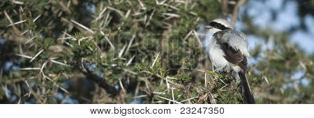 Grey-backed Fiscal, Lanius excubitoroides, at the Serengeti National Park, Tanzania, Africa