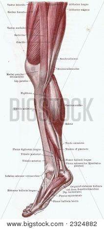 Dissection Of The Leg