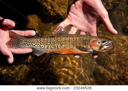 High mountain cutthroat trout on a dry fly