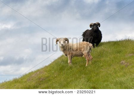 Sheep on Mykines, Faroe Islands