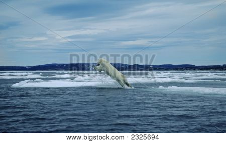 Polar Bear Leaping Between Ice Flows.