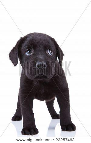 Shy Little Labrador Puppy
