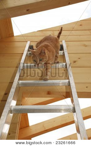 Ginger Tom Descending Ladder