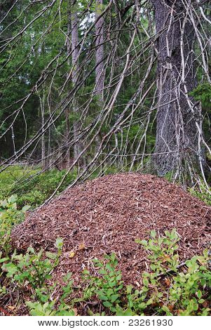 Big Anthill In The Spruce Forest
