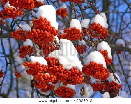 Frozen And Bird-Pecked Ashberries