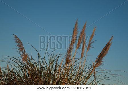 Pampas  or toi-toi grass.