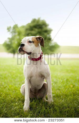 Boxer puppy portrait