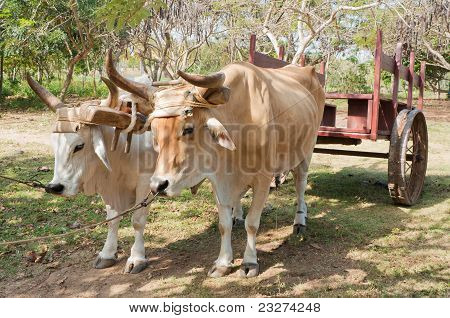 Oxen In Cuban Farm