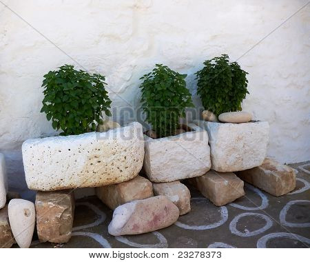 basil plants in three flowerpots