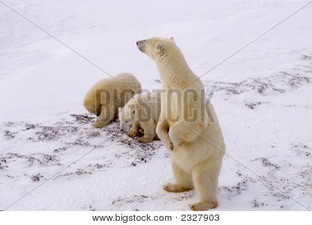 Oso polar y cachorros