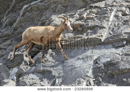 Rocky Mountain Bighorn Sheep  (Ovis canadensis canadensis) on a Rock Precipice