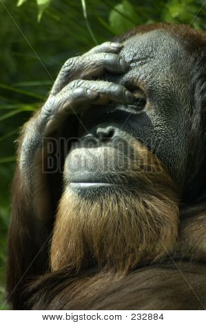 Animal Orangutan