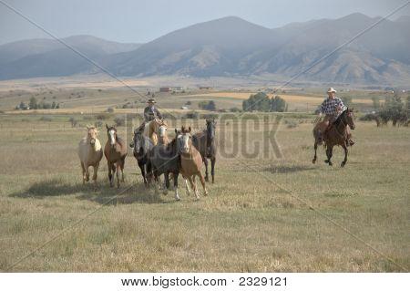 Cowboys Rounding Up Horses