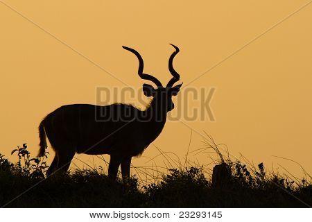 Kudu Bull Silhouette