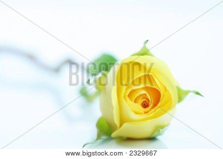 Single  Yellow Rose On White.