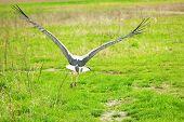 Stork Soars Above Green Field Soft Focus poster
