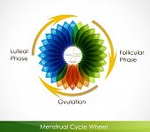 stock photo of ovulation  - Menstrual cycle calendar - JPG