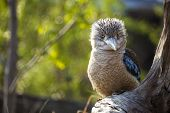 pic of blue winged kookaburra  - Kookaburra Dacelo novaeguineae Kingfisher from Australia with a funny look - JPG
