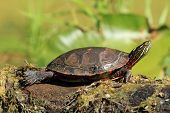 Midland Painted Turtle on a Log poster