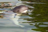 foto of porpoise  - Relaxed Harbour porpoise or Phocoena phocoena in summer sunshine and clear water  - JPG
