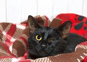 Small Black Kitten With Traumatic Injury To Left Eye, Eye Missing, Crusted Closed With Yellow Exudat poster