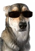 image of cute dog  - Serious big dog wears sunglasses isolated white - JPG