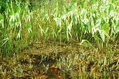 picture of coy  - A coy carp pond in northern Italy filled with reeds and grasses - JPG