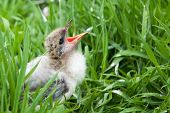 image of baby chick  - A baby bird chick sitting amongst some grass calls out - JPG