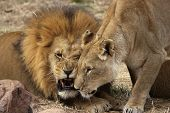 image of african lion  - a lion and lioness show a mixture of affection and snarling teeth - JPG