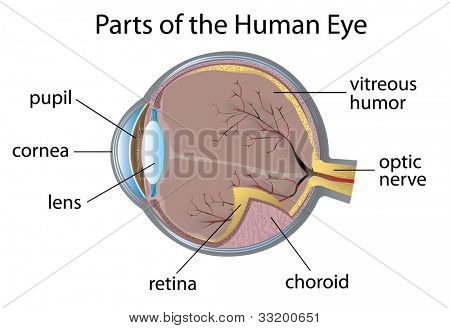Illustration of parts of the human eye - EPS VECTOR format also available in my portfolio.