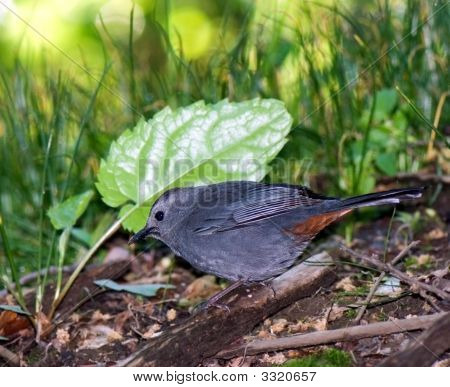 Catbird Searches For Larvae