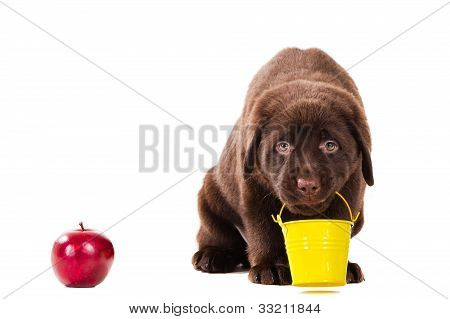 Chocolate Retriever Puppy With Bucket And Apple On Isolated White