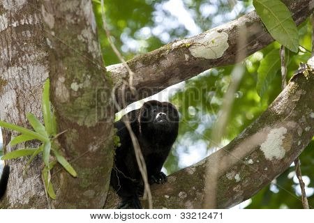 Howler Monkey On Branch