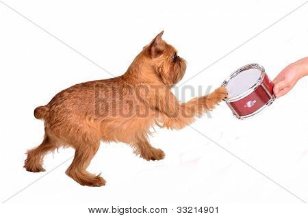 Griffon Bruxellois with a drum kit, isolated on white