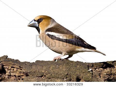 Hawfinch Bird