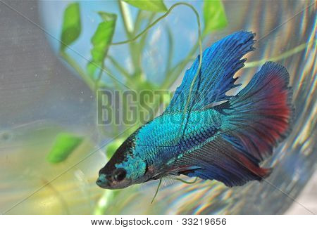 Moon tail beta fish