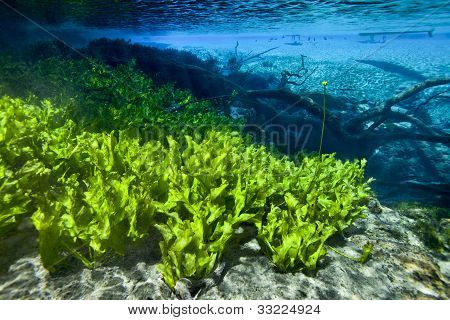 Aquatic Plants - Cypress Springs