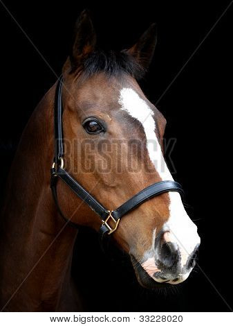 Bay Horse Against Black Background