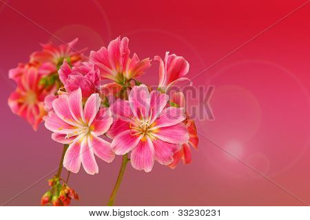 Lewisia Cotyledon, On Pink Background