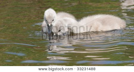 Two Young Cygnets Foraging