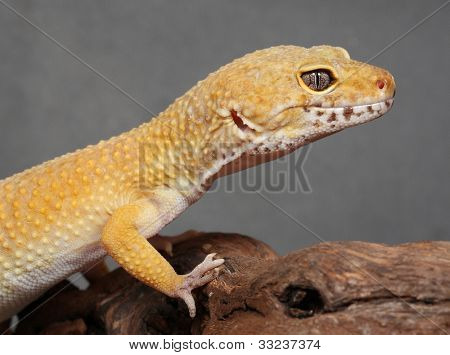 Gecko sitting on a brunch