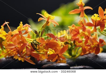 Still life with branch orange orchid with black stones