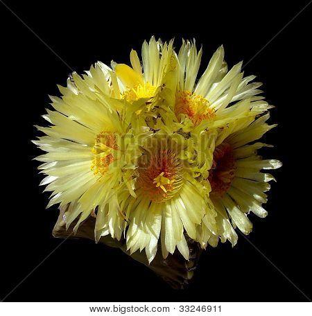 astrophytum cactus