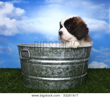 Cute and Adorable Saint Bernard Pup With Copy Space for Text