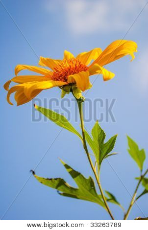 Mexican Sunflower With Clear Sky