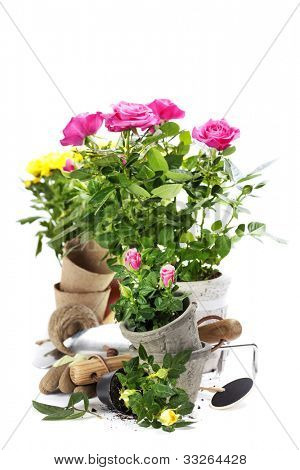 Beautiful pink and yellow roses in a flowerpots and garden tools  isolated on white