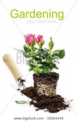 Beautiful pink roses and garden tools  isolated on white (with easy removable text)