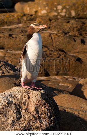 Erwachsene NZ Yellow-eyed Penguin oder Hoiho am Ufer