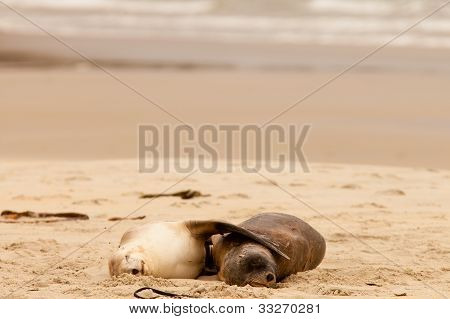 Mating Hookers sealions taking a nap on beach
