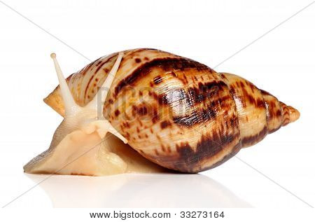 Giant African Snail Achatina